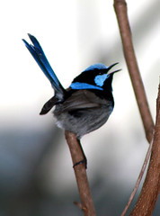 Blue Wren  009 (DMT@YLOR) Tags: bluewren