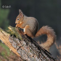 Red Squirrel (Sciurus vulgaris) Explore Feb 18th #273 (Col-page) Tags:
