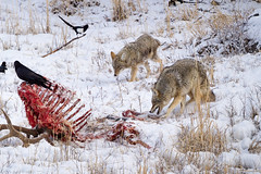 Coyotes Guarding an Elk Carcass (Free Roaming Photography) Tags: coyote winter food usa snow cold west birds animals nationalpark montana wildlife pair teeth ribs bones yellowstonenationalpark northamerica yellowstone wyoming magpie raven mammals remains carcass snarl scavenger prowl scour coyotes canines scavenge inspect cookecity elkcarcass