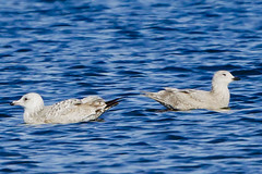 IMMATURE HERRING GULL (left), IMMATURE ICELAND GULL (right) (nsxbirder) Tags: ohio immature larusargentatus herringgull caesarcreekstatepark harveysburg