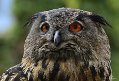 Eurasian Eagle-Owl Portrait (Martin_Heigan) Tags: camera detail bird nature face birds closeup digital bill eyes nikon european dof close bokeh beak feathers photograph owl dslr eurasian bubobubo eagleowl uil ortrait abigfave d7000 mhsetbirds mhsetwildlife mhsetbokeh 16february2013 mph3285