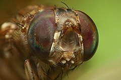 Compound Eyes (karthik Nature photography) Tags: portrait macro nature colors animals closeup canon photography fly wildlife insects bugs flies macrophotography closeupphotography macroworld compoundeyes sigma105mm wildlifephotography animalworld raynoxdcr250 insectphotography macrolife wildlifeindia karthikphotography