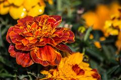 Marigold (Tagetes) (Kumaravel) Tags: travel flower dewdrops nikon dof bokeh crop marigold newdelhi tagetes lodigarden kumaravel d3100