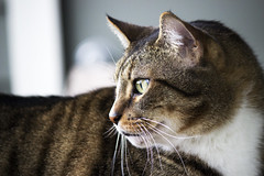 Hunter (DFChurch) Tags: pet face cat feline tabby profile hunter
