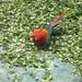 Parrot loves coca