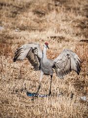 130301_Sandhill_Cranes_5 (Lynnette_) Tags: winter snow weather birds animals march nebraska seasons events places cranes month alda sandhillcranes sandhills 2013 springmigration platterivervalley naturesubjects cranemigration
