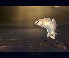 - planing in the light - (swaily  Claudio Parente) Tags: light poetry flight natura poesia d300 garzetta fucino egna specanimal nikond300 claudioparente swaily bestcapturesaoi mygearandme mygearandmepremium mygearandmebronze mygearandmesilver mygearandmegold mygearandmeplatinum mygearandmediamond blinkagain photographyforrecreationeliteclub galleryoffantasticshots besteverdigitalphotography besteverexcellencegallery vigilantphotographersunite photographyforrecreationclassic