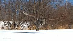 In-Flight (Shane Rovang) Tags: winter snow minnesota greatgrayowl duluth owls
