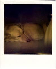 Sandraroid (R. Drozda) Tags: film alaska polaroid sandy babygirl fairbanks sleddog beingthere thelittledoglaughed drozda impossibleproject labrusky