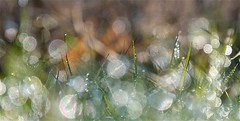 Singing white frost in morning sun (april-mo) Tags: light blur france grass blurred dew nord blurredvision whitefrost grassblades rose geleblanche somain brinsdherbe blurism