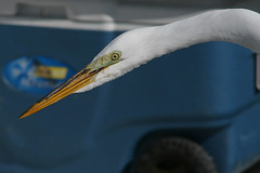 "The Great Egret: ""Is That Fish in There?!"" (MickiP65) Tags: winter wild sky copyright usa bird nature birds animal animals march florida wildlife web birding aves creation northamerica fl creatures creature egret birdwatching cedarkey animalia avian levy greategret allrightsreserved egrets audubon copyrighted chordata casmerodiusalbus 2013 michellepearson websized 030913 img4389 mickip mickip65 20130309 03092013 mar092013"