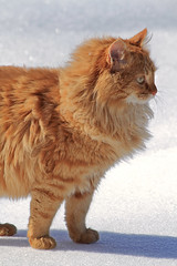 Billy (Steph Blin) Tags: winter orange snow cat chat hiver kitty neige roux rouquin