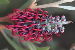 Grevillea beadleana (andreas lambrianides) Tags: endangered grevillea australiannativeplant proteaceae australianflora grevilleabeadleana