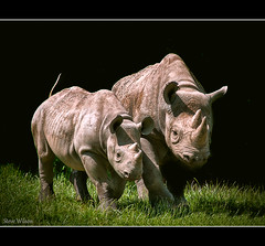The endangered Black Rhinoceros (Steve Wilson - classic view please) Tags: africa uk greatbritain family england baby black nature animal gardens blackbackground garden mammal zoo nikon cheshire britain african background wildlife great young mother conservation chester rhino species savannah endangered d200 captive calf youngster rare rhinoceros captivity herbivore upton onblack chesterzoo endangeredspecies zoological zoologicalgarden zoologicalgardens nikond200 caughall