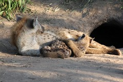 Hyena suckling (bucksred) Tags: southafrica hyena