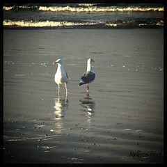 Not Talking (San Francisco Gal) Tags: ocean two reflection bird beach nature water washington sand waves pacific seagull gulls olympicpeninsula relationship pacificocean wa 2012 kalaloch