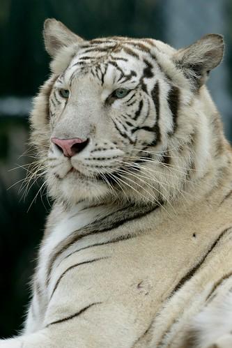 White tigers in Miami-3