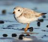 Elegance (v4vodka) Tags: bird nature animal wildlife birding longisland birdwatching plover pipingplover charadriusmelodus westmeadowbeach pipingploverchick sieweczka siewka
