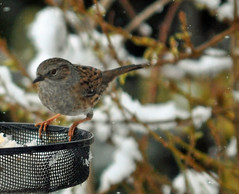 Dunnock (littlestschnauzer) Tags: uk winter england brown white snow cold west bird nature weather birds animals rural garden table march countryside spring nikon village feeding wildlife yorkshire small freezing feeder dunnock farmland chilly snowing hungry emley faethers 2013 d5000 elementsorganizer11