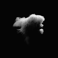 week two | contemplative Boo. (p r i m e r) Tags: blackandwhite monochrome boo contemplative maltipoo