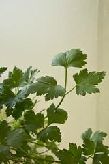 DSC_1099 (dan-morris) Tags: lighting green up leaf nikon soft close 1855mm dslr vr corriander f3556g 1855mmf3556gvr d3100