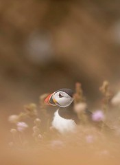 Puffin (Mike Ashton) Tags: uploaded:by=flickrmobile flickriosapp:filter=nofilter