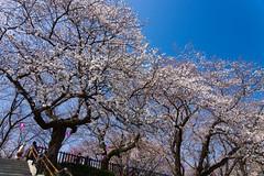 DSC07200.jpg (Naoki Kikuchi) Tags: flower