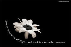 Daisy-on-Black-Inspirational---Whitman-DSC08340