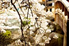 IMG_4862 (Thomo13) Tags: park flowers japan canon cherry eos tokyo spring shinjuku blossom mark ii 桜 sakura 5d 新宿御苑 gyoen hanami 2013 櫻さくら gettyimagesjapan13q1