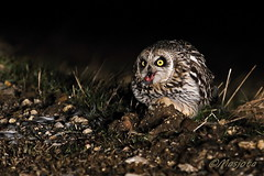 2013-03-26-Bugey-Lechuza-054 (https://www.instagram.com/masjota/) Tags: bird ave oiseau nuco rapaz rapacious rapace shortearedowl asioflammeus búhocampestre hiboudesmarais lechuzacampestre lechuzóndepajonal