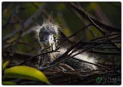 Great Blue Heron Chick (QuakerVille) Tags: usa bird beautiful animal education florida wildlife palmbeach delray wetland boyntonbeach boynton wakodahatchee canon5dmarkiii jonmarkdavey