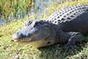 Everglades :) (Smoothiex3) Tags: park deleteme5 deleteme8 holiday deleteme deleteme2 deleteme3 deleteme4 deleteme6 deleteme9 deleteme7 dangerous miami deleteme10 urlaub national crocodile everglades krokodil