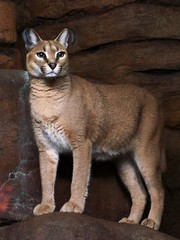Miss Lop-Ears Watches (MrGuilt) Tags: cats cincinnati caracal cincinnatizoo afzoomnikkor3570mmf28d
