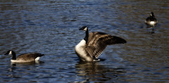King of the Pond (lup) Tags: water canon eos