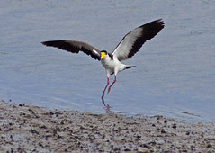 Masked lapwing (spur winged plover) Vanellus miles (mpp26) Tags: newzealand spur flying wings wing estuary landing lapwing masked avon plover heathcote vanellusmiles maskedlapwing