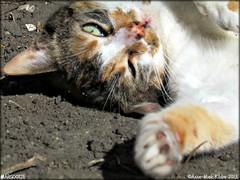 LENTE ZON    SPRING SUN (Anne-Miek Bibbe) Tags: cats cat katten kat chat nederland gato april katze 365 gatto poes project365 365days 2013 bibber bibbe annemiekbibbe margootje 365dagen