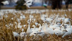 snow geese (qmnonic) Tags: newyork field geese spring corn farm flock waterloo migration snowgeese