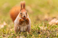 Nut! (Emyan) Tags: red nature animals canon squirrel ukraine nut kharkiv