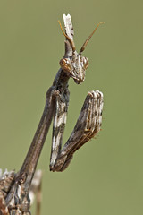 Conehead Mantis (Empusa pennata) (Sinkha63) Tags: portrait france macro nature animal mantis wildlife martel immature fra midipyrnes mantidae diablotin empusa empusapennata juvnile empuse coneheadmantis
