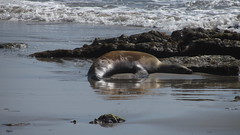 IMG_7808 sick sea lion on east haskell beach (ceztom) Tags: california rescue beach santabarbara march marine pacific east 23 geology sealion sandpiper channel bluff goleta ellwood shorebird haskell bacara 2013