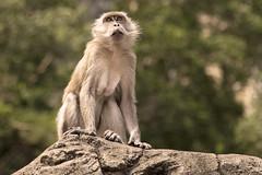 Batu Caves Cynomolgus Monkey (Rapidrat) Tags: canon monkey caves malaysia kuala batu lumpur 6d f4l 24105mm 2013