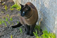 Yes spring is arrived! / Le printemps est arriv! / llego la primavera (PULLKATT CURRENTLY IN TURKEY) Tags: canada primavera animal cat season spring chat quebec blueeyes gato fourseasons qubec printemps animale montrgie saison animauxdomes
