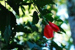 (lincoln koga) Tags: light red plants flores flower verde green folhas luz sol nature leaves leaf nikon plantas dof natureza vermelho observe lincoln beleza retiro criao observando koga encontros aprendizado explorando chamado admirao contemplao d80 pedaosdemim expressando aguardo euvejo retirodejovens lincolnkoga euencontro meutempo meumomento tempodereflexo refgiosecreto silncioreflexivo tempodecontemplao tempodesilncio meusencontros voudescobrindo vouexplorando ofertadeamor teentrego nossoviver tudoemmim aguardoporvoc