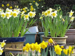 Containers (ShelaghW) Tags: nature gardens scotland spring seasons mygarden myhome daffodils springtime containers containergardening windowledges shelaghw