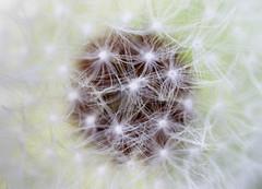 Entropy (susivinh) Tags: primavera entropy spring flor dandelion seeds semillas dientedeleonflower