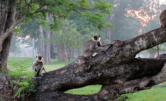 Purple faced Langur Monkeys (charlesrex) Tags: monkeys srilanka anuradhapura langurs rexdesilva
