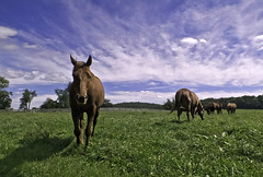 Horses of Sagamore (zuni48) Tags: ranch sky horse field maryland friendlychallenges yourockwinner yourockunanimous mygearandme gamesweepwinner zunikoff