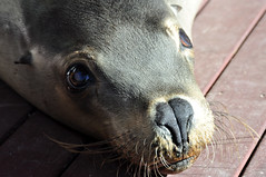 Cute guy (Roving I) Tags: cute animals wildlife australia whiskers nsw newsouthwales attractions coffsharbour furseals coffscoast dolphinmarinemagic
