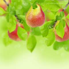 Sweet fresh pears (Oxana Denezhkina) Tags: new autumn summer food white plant detail macro tree green fall nature leaves yellow fruit garden season evening leaf vegan juicy healthy stem branch natural image sweet gardening farm background space harvest tasty fresh whole growth health vegetarian pear backgrounds production hanging organic agriculture biology eco freshness ripe refreshment vitamin