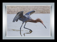 Reddish Egret (danob2) Tags: fortdesotoflorida allofnatureswildlifelevel1 rememberthatmomentlevel1 creativephotocafe canon1dmarkiv500mmeff4 danielobyrnewildbirdsofflorida